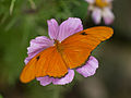 Dryas iulia at the Butterflies and Blooms exhibit.jpg