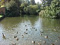 Ducks on Sudbury mill stream - geograph.org.uk - 980981.jpg
