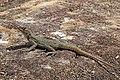 Duméril's Madagascar swift (Oplurus quadrimaculatus) Isalo.jpg