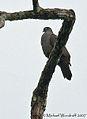 Dusky Pigeon (443003438).jpg