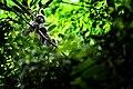 Dusky leaf monkey in Kaeng Krachan National Park.jpg