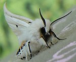 E3000 - right-wing-waving white ermine (by-sa).jpg