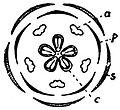 EB1911 Flower - diagram of a completely symmetrical flower.jpg