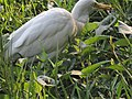 Eastern Cattle Egret (bagula) foraging.jpg
