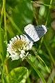 Eastern Tailed Blue (Cupido comyntas) (35446866052).jpg