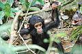 Eastern chimpanzee baby.jpg