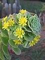 Echeveria species at Ooty (5).jpg