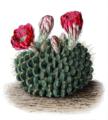 Echinopsis cinnabarina T2.png