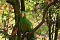 Eclectus roratus -male -perching in tree-8.jpg