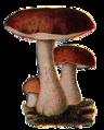 Edible Fungi 02.png