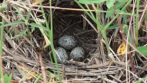 Hoskote - Eggs of a paddyfield pipit from Hoskote Lake bed. Hoskote is a destination for birdwatchers and parasailers.
