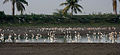 Egrets, Storks, Ibises & Terns in AP W IMG 4160.jpg