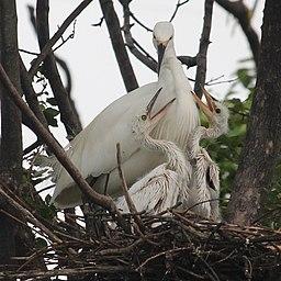 Egretta garzetta (nest with juvenile s5)