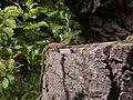 Eidechse auf Baumstumpf.jpg