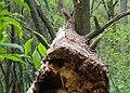 El Ocotal forest, trunk, Mexico City.jpg