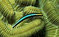 Elacatinus evelynae.jpg