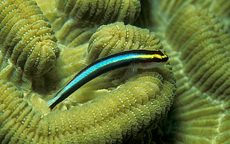 Cleaner fish - Caribbean cleaning goby Elacatinus evelynae