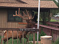 Elk Visits Tusayan Ranger District Office (6059522755).jpg