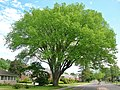 Elm Tree in West Hartford, Connecticut - May 2017.jpg