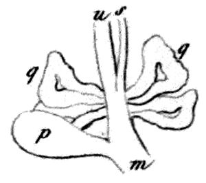Escargot de Quimper - 1856 drawing of a part of reproductive system showing dart sac (p), club shaped mucous glands (g) and a part of vagina (m).
