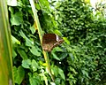 Elymnias caudata, Tailed Palmfly, ഓലകണ്ടൻ .jpg