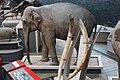 Em - Elephas maximus - 9.jpg