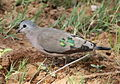 Emerald-spotted Wood Dove, Turtur chalcospilos at Marakele National Park, South Africa.jpg