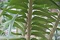 Encephalartos gratus 8zz.jpg