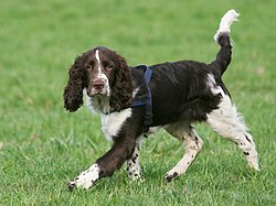 English-Springer-Spaniel-Coffee2.jpg
