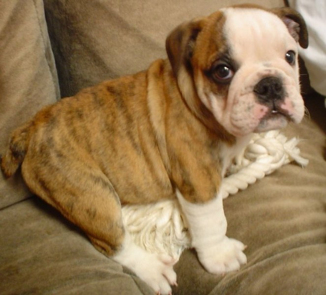 Puppy English Bulldog Wallpapers