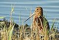 Enkelbeckasin Common Snipe (23405560255).jpg