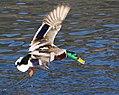 Entenvogel im Flug..IMG 7344BE.jpg