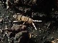 Entomobrya corticalis 61940743.jpg