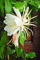 Epiphyllum oxypetalum 03.jpg