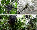 Epiphyten baumbewohner passig gemacht.jpg