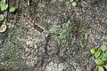 Erebidae caterpillar (28329576905).jpg