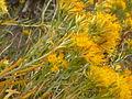 Ericameria nauseosa or Chrysothamnus nauseosus graveolens (4004890296).jpg