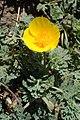 Eschscholzia californica kz08.jpg
