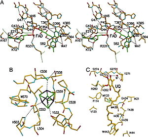 Electron-transferring-flavoprotein dehydrogenase - ETF-QO Functional Domains