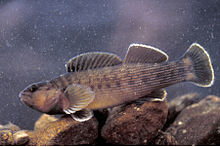 Etheostoma camurum.jpg