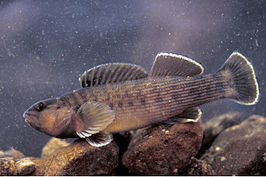 Etheostoma camurum