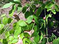 Ethiopia - Moringa stenopetala leaves - March 2011.jpg