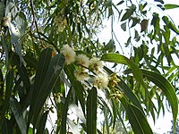 Eucalyptus flowers, Barcelona, Spain (15345095225).jpg