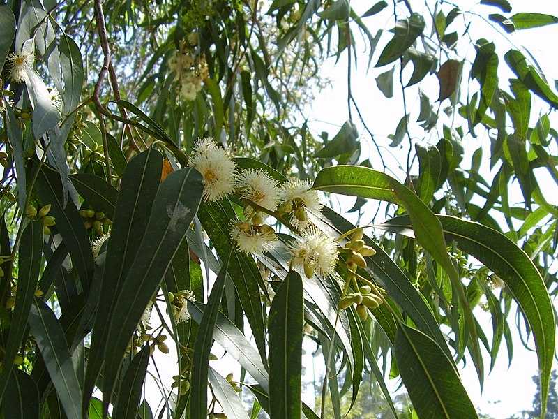 File:Eucalyptus flowers, Barcelona, Spain (15345095225).jpg