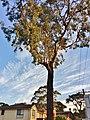 Eucalyptus tricarpa - street tree.jpg