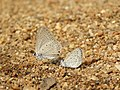 Euchrysops cnejus - Gram Blue and Zizula hylax - Tiny Grass Blue at Makutta 2018.jpg