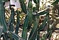 Euphorbia canariensis 0zz.jpg