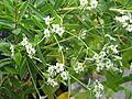 Euphorbia corollata (20107917430).jpg