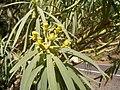 Euphorbia lamarckii (El Paso) 03.jpg
