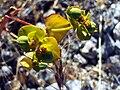 Euphorbia nevadensis FruitsCloseup.jpg